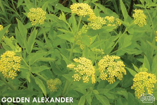 Golden alexander | Iowa DNR