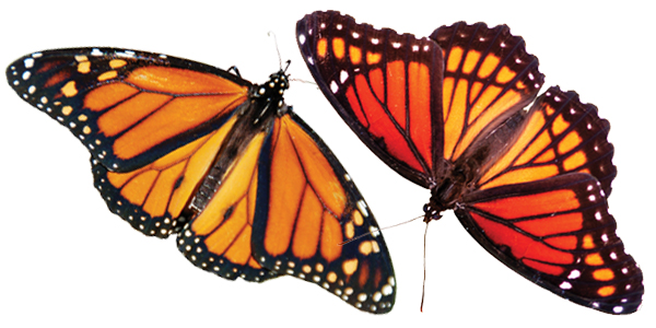 Monarchs and viceroys - can you tell the difference? | Iowa DNR