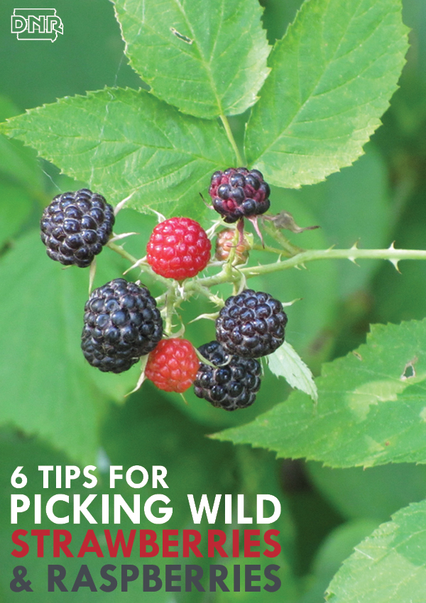 6 tips for foraging delicious wild strawberries and raspberries | Iowa DNR
