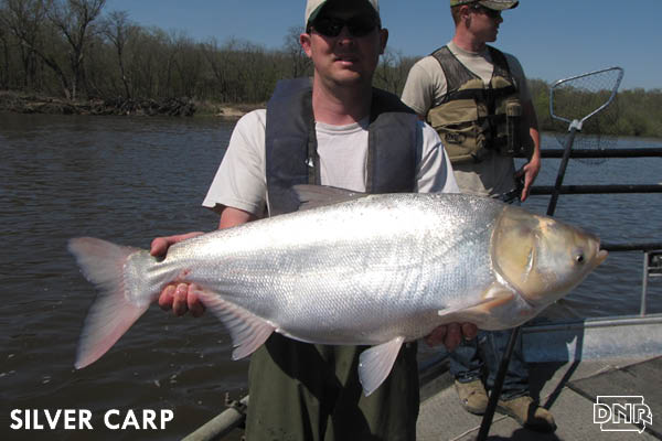Silver carp is one of 7 Iowa fish species without a state record on the books | Iowa DNR