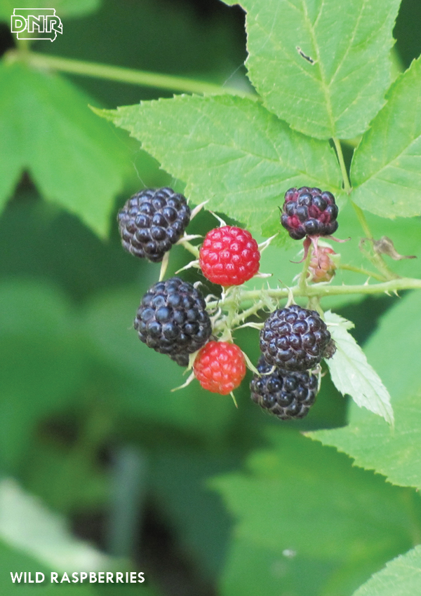 Look for wild raspberries in late June and early July | Iowa DNR