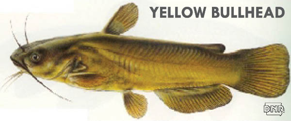 The yellow bullhead is one of 7 Iowa fish species without a current state record - here's how to catch one | Iowa DNR