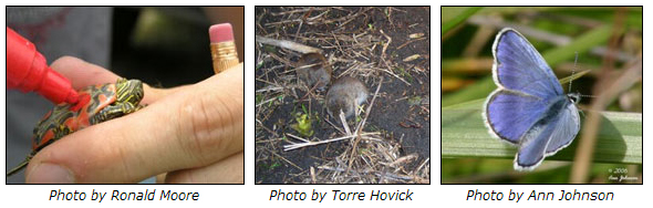 Marking a painted turtle, a meadow vole and a Melissa Blue